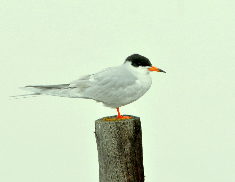 Forster's Tern | Walden, Colorado | May, 2011