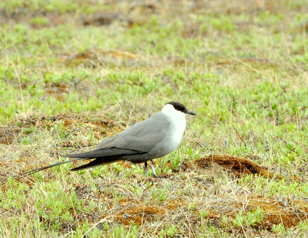 Long-tailed Jaeger | Deadhorse, Alaska | June, 2011