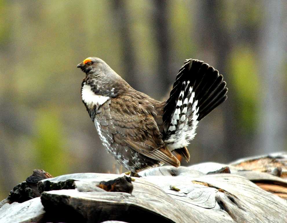 Blue Grouse –  Male | Yellowstone National Park | May, 2011