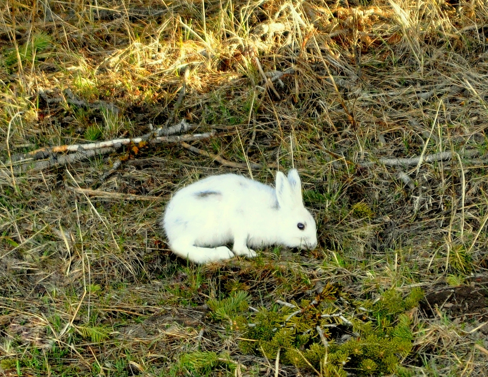Snowshoe Hare | Yellowstone National Park | May, 2011