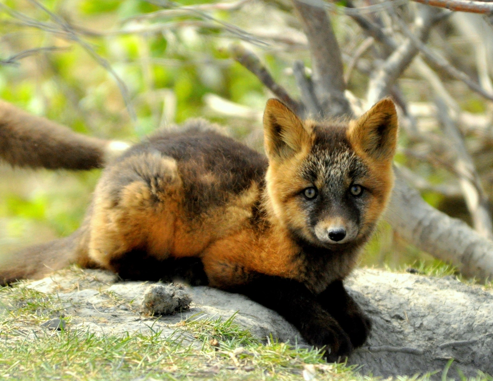 Red Fox –  Pup | Atigun Pass, Alaska | June, 2011