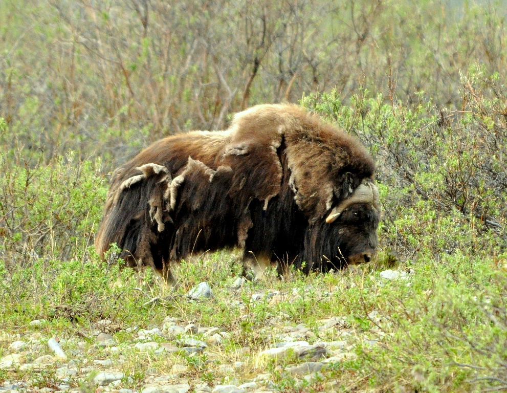 Musk Ox | Atigun Pass, Alaska | June, 2011