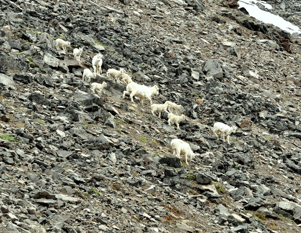 Dall Sheep –  Ewes and Lambs | Atigun Pass, Alaska | June, 2011