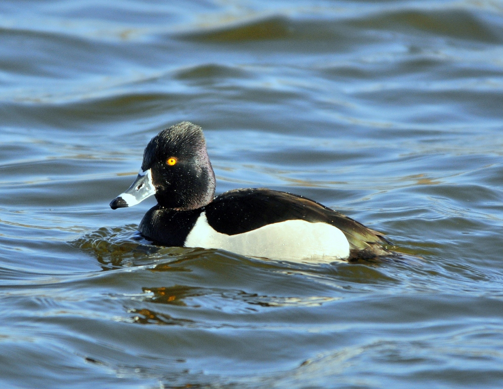 Ring-necked Duck – Male   Albuquerque, New Mexico   March, 2011