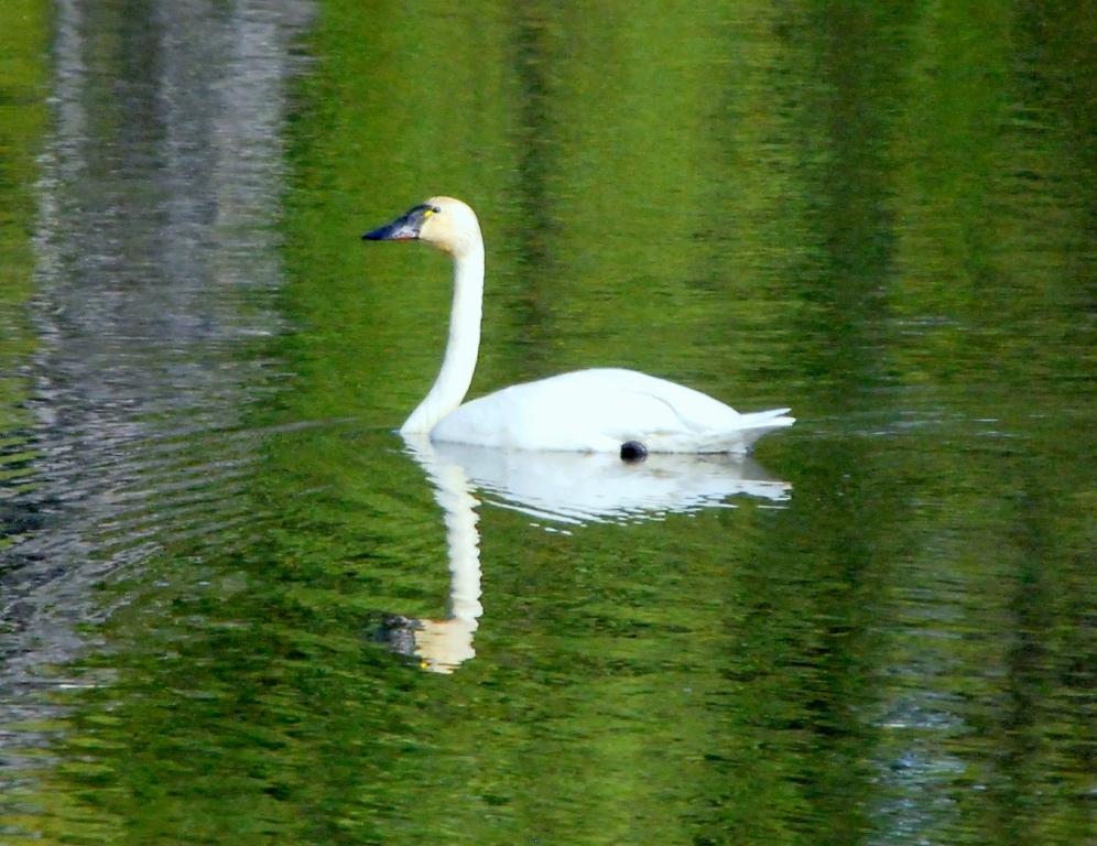 Tundra Swan | Glennallen, Alaska | June, 2009