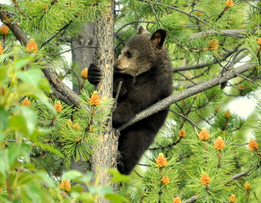 Black Bear –  Cub | Dease Lake, British Columbia | June, 2011