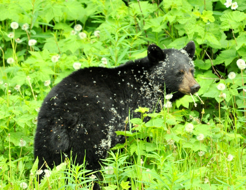 Black Bear | Radium Hot Springs, British Columbia | June, 2011