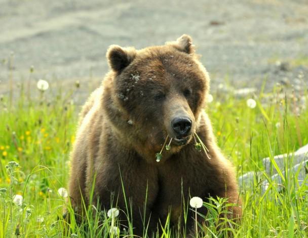 Brown Bear – Female  | Haines, Alaska | June, 2011