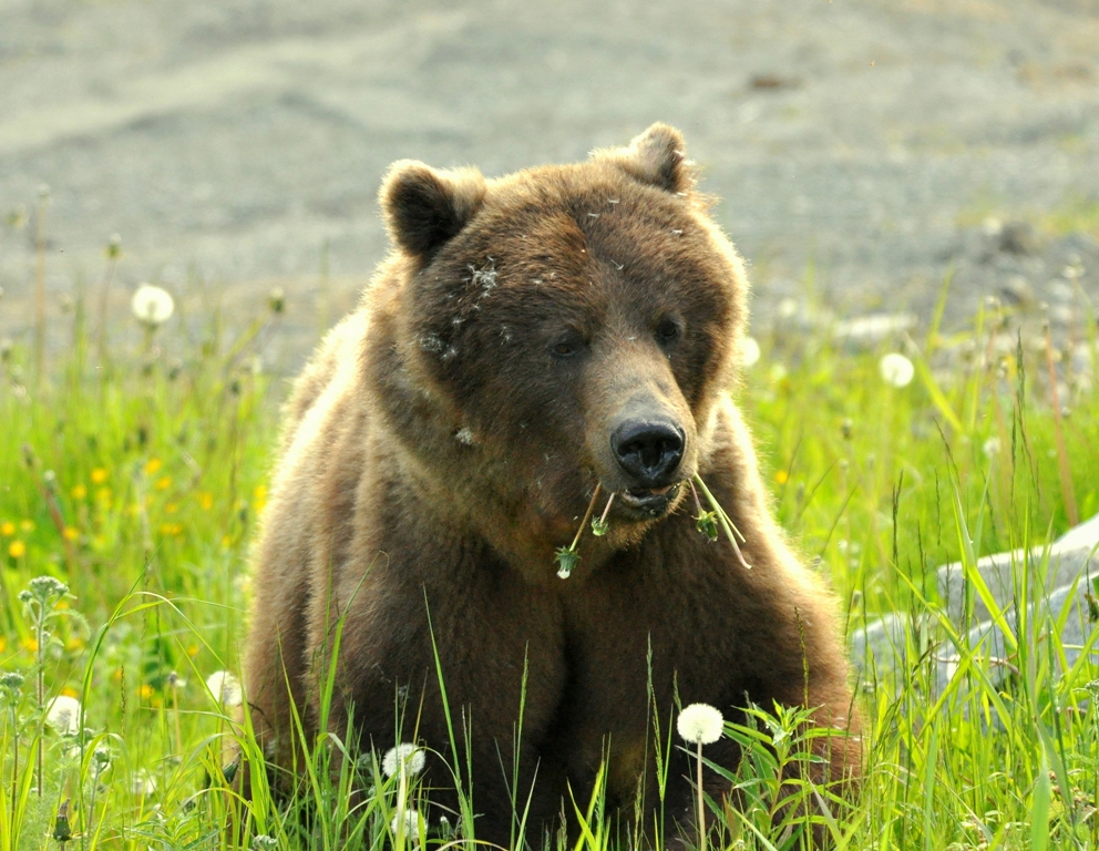 Brown Bear – Female  | Haines, Alaska | June, 2011