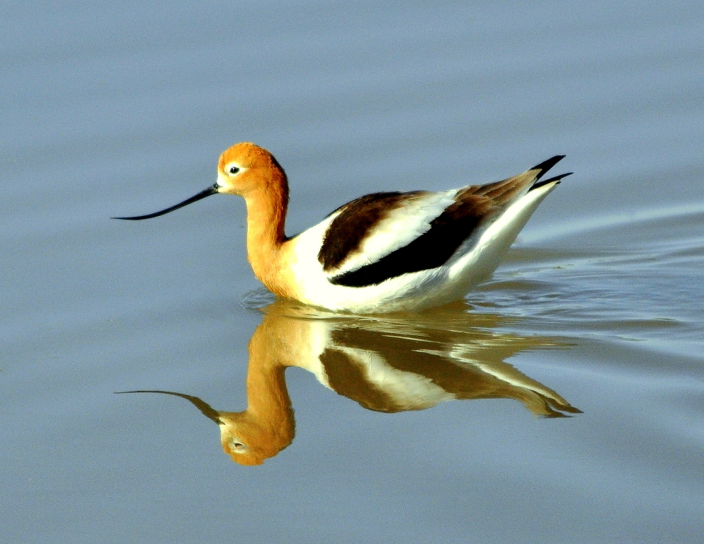 American Avocet | Bosque del Apache | April, 2011