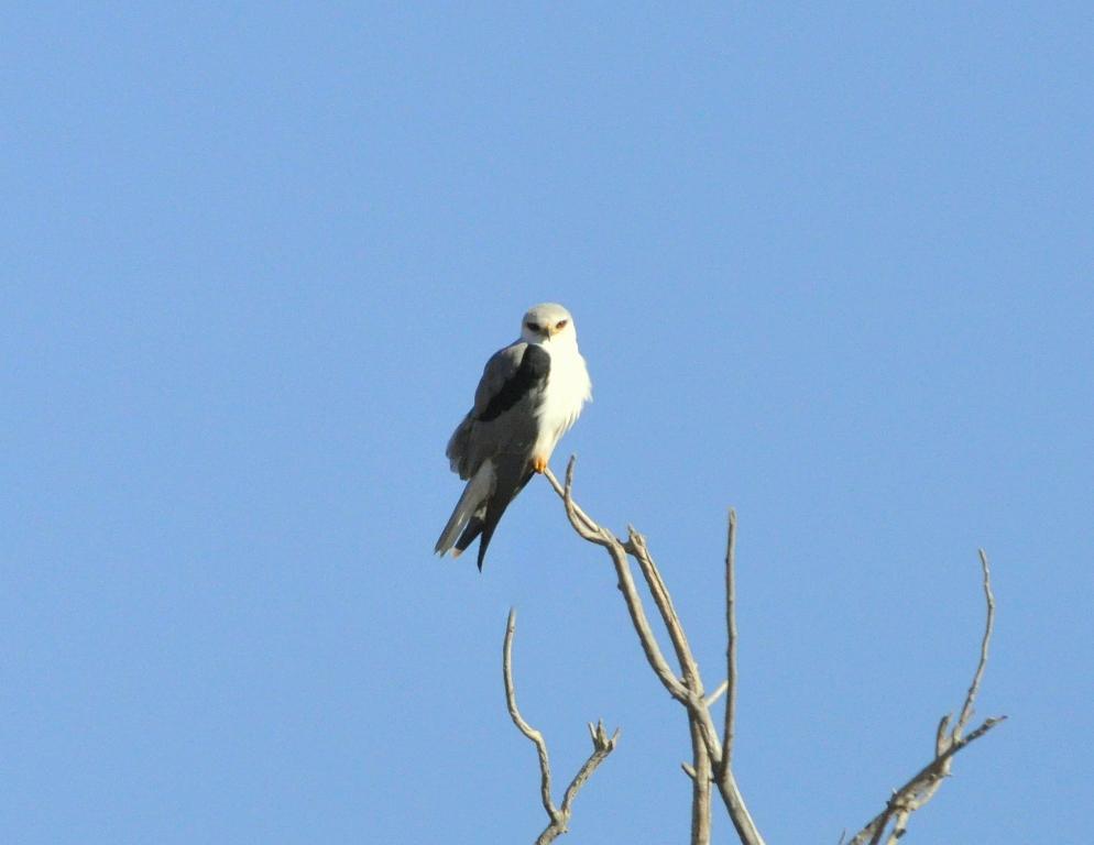White-tailed Kite | Bosque del Apache | January, 2010