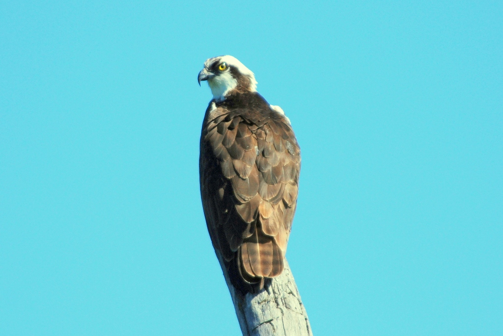 Osprey | Missoula, Montana | June, 2009