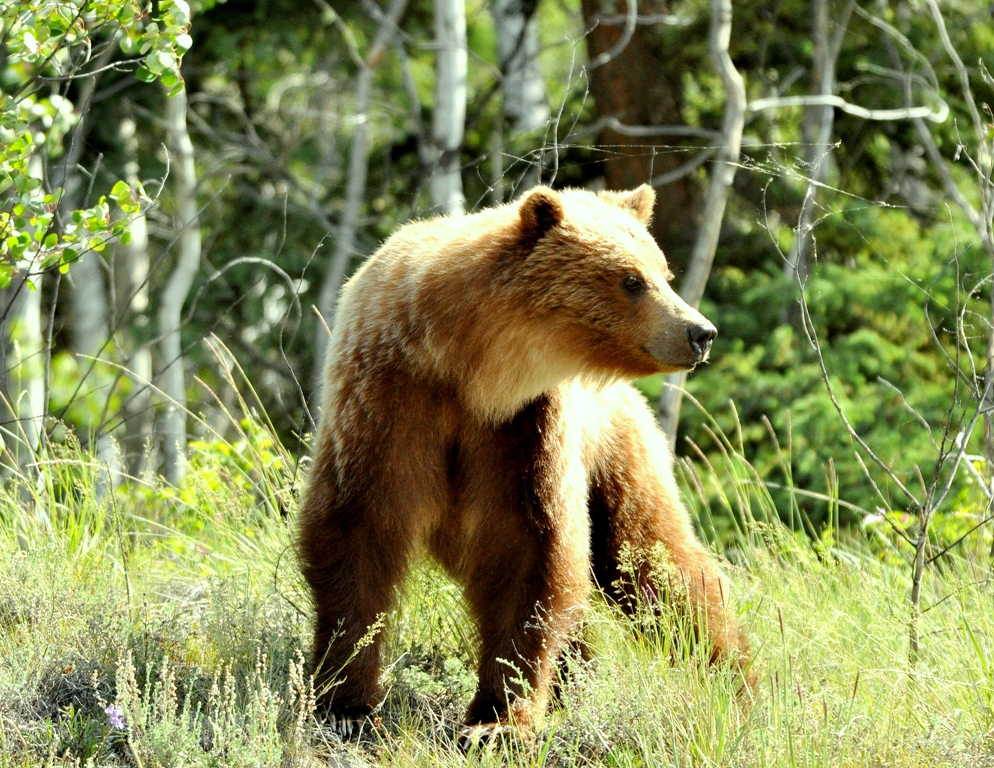 Grizzly Bear | Pelly Crossing, Yukon Territory | June, 2011