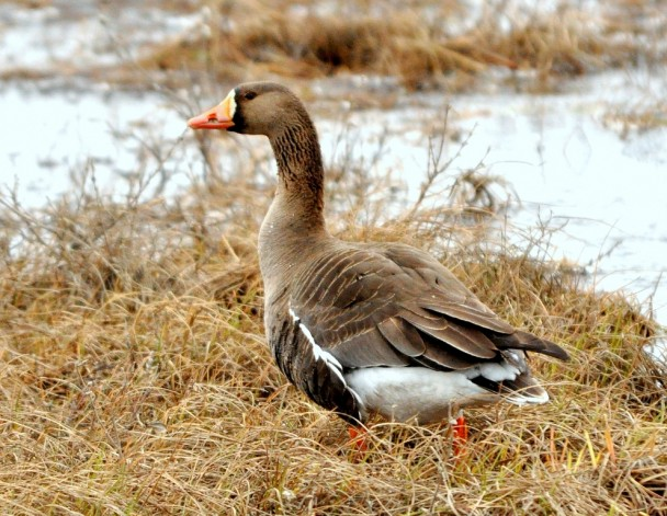 Greater White-fronted Goose | Deadhorse, Alaska | June, 2011