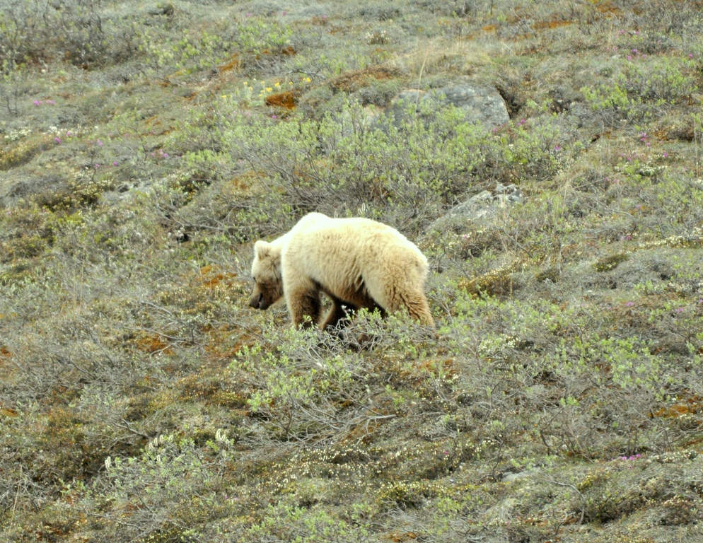 Grizzly Bear | Atigun Pass, Alaska | June, 2011