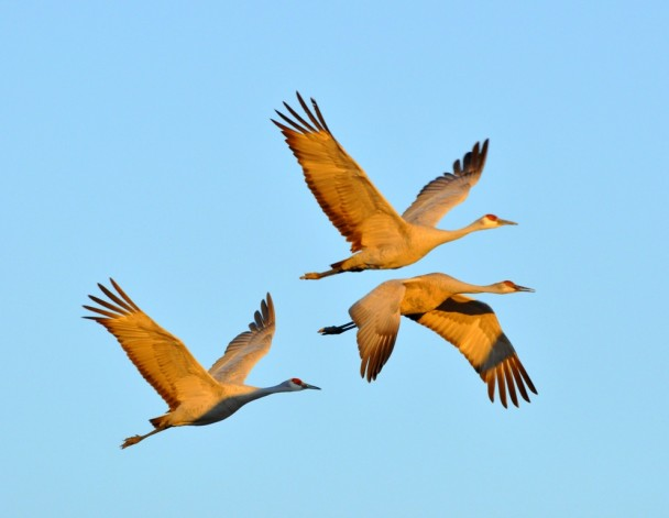 Sandhill Cranes | Bernardo, New Mexico | January, 2011