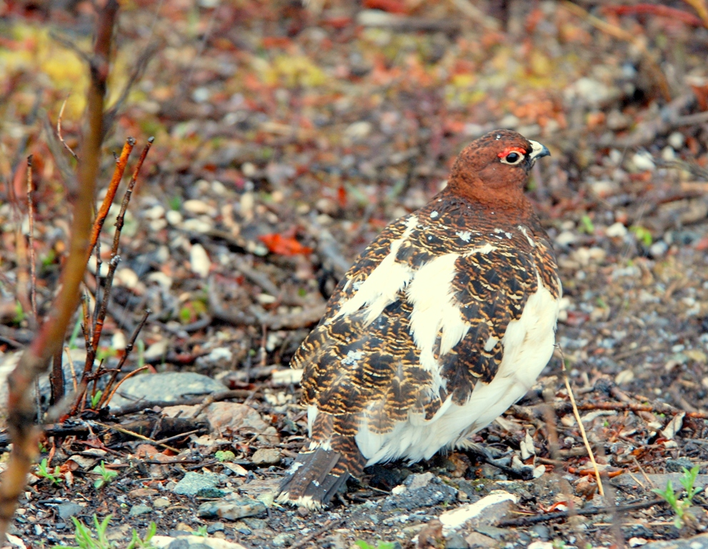 Willow Ptarmigan – Male | Denali National Park | May, 2009