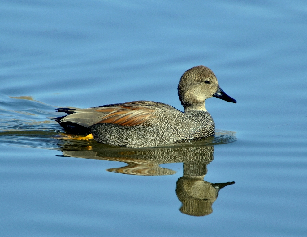Gadwall – Male | Albuquerque, New Mexico | January, 2011