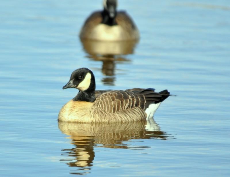 Cackling Goose | Albuquerque, New Mexico | November, 2010