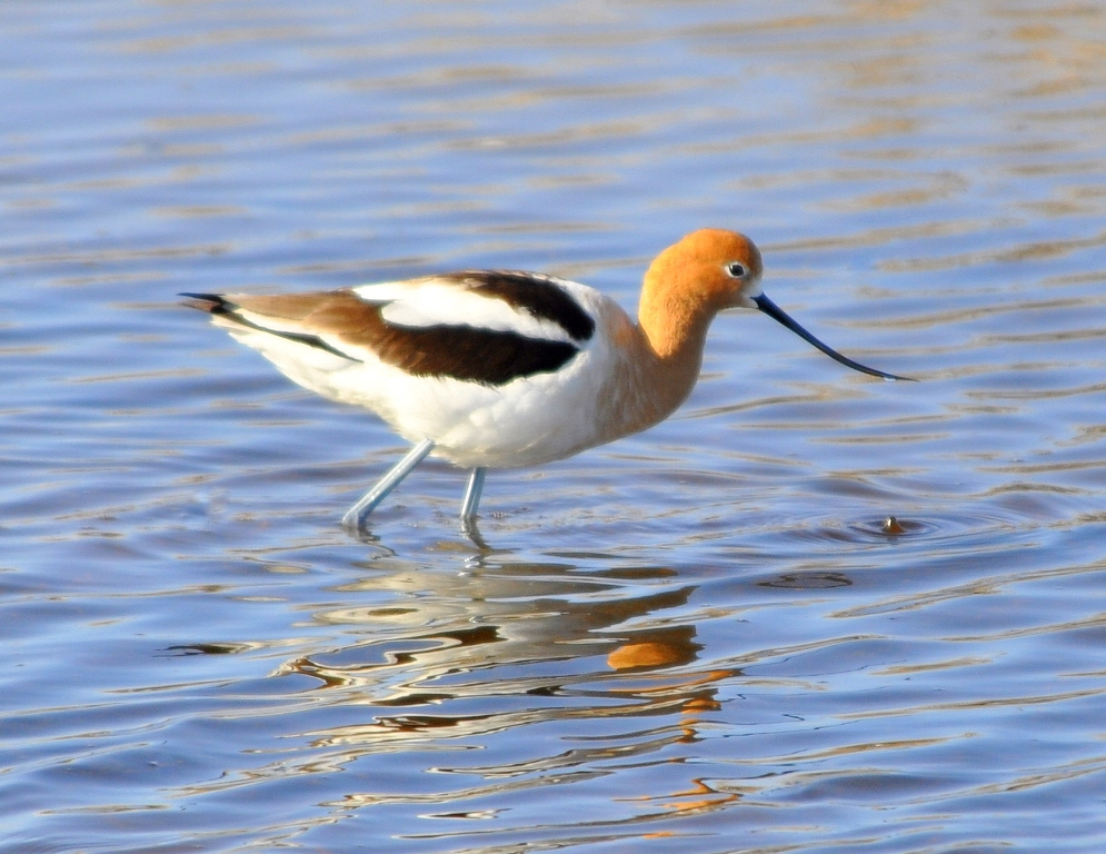 American Avocet | Walden, Colorado | April, 2010