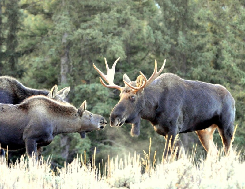 Moose – Bull, Cow and Calf | Jackson Hole, Wyoming | October, 2009