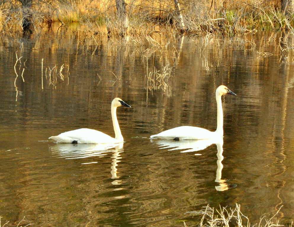 Trumpeter Swans | Destruction Bay, Yukon Terriroty | May, 2011