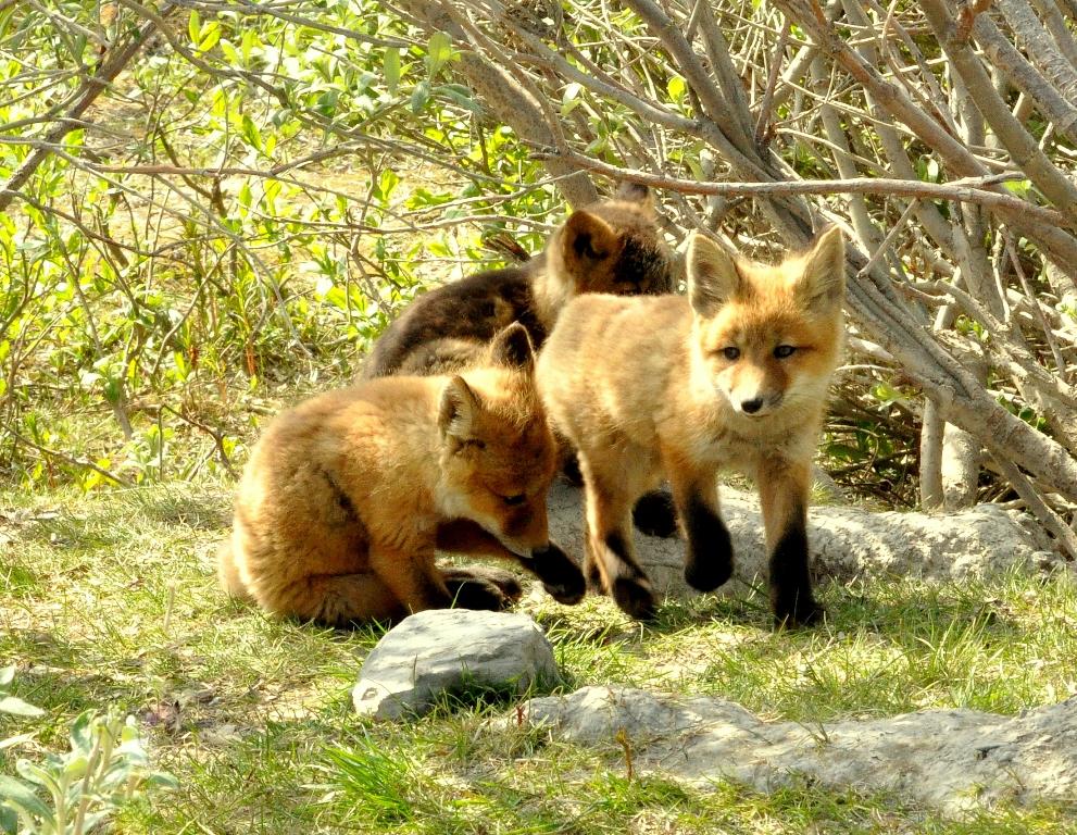 Red Fox –  Pup's | Atigun Pass, Alaska | June, 2011