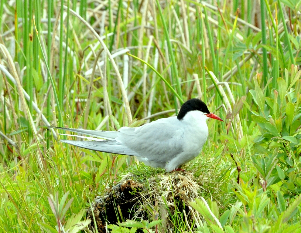 Arctic Tern | Anchorage, Alaska | June, 2011