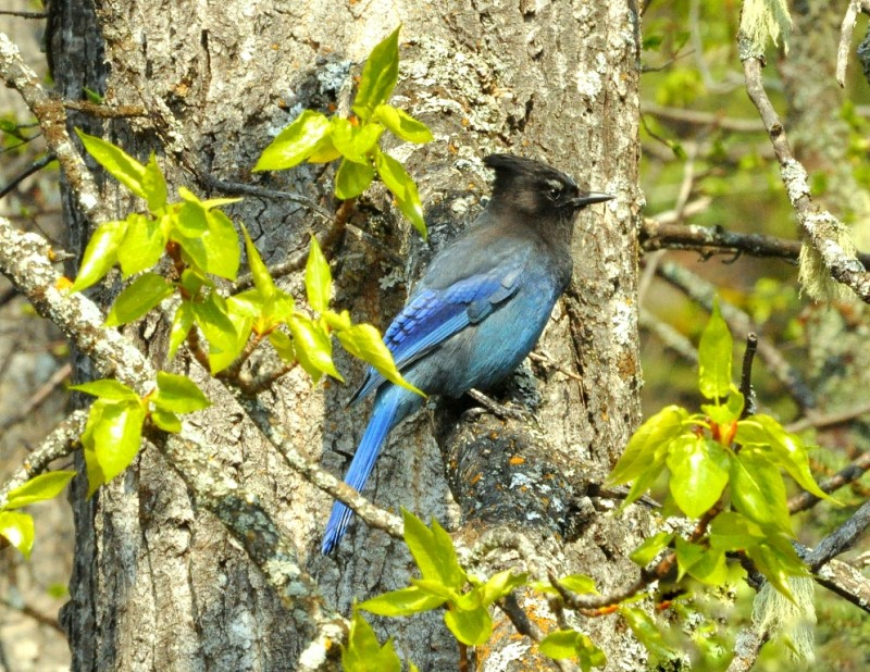 Steller's Jay |  Chetwynd, British Columbia | May, 2011