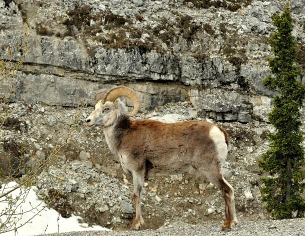 Stone Sheep – Ram | Fort Nelson, British Columbia | May, 2011