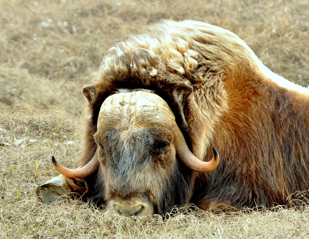 Musk Ox | Deadhorse, Alaska | June, 2011