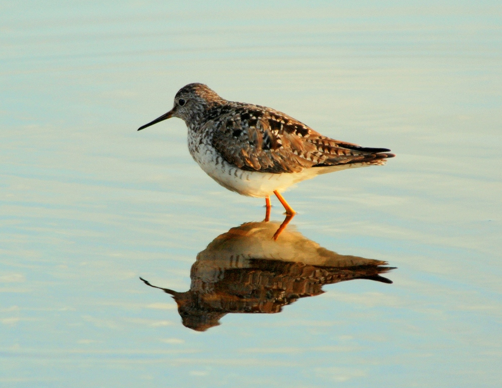 Spotted Sandpiper | Tok, Alaska | May, 2009