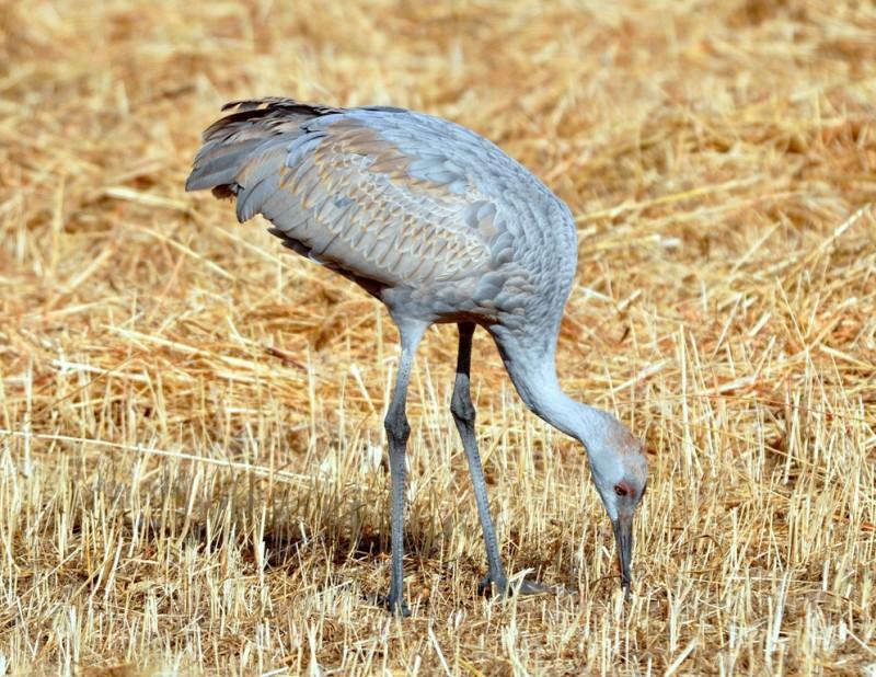 Sandhill Crane – Immature | Albuquerque, New Mexico | December, 2010