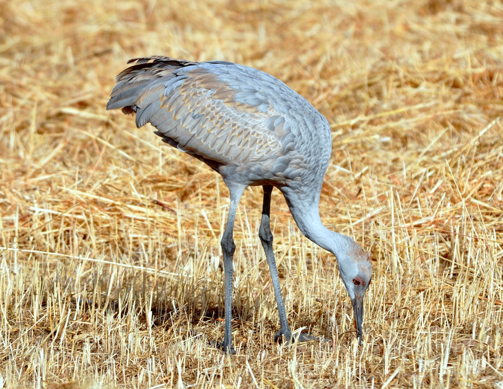 Sandhill Crane – Immature | Albuquerque, New Mexico | December, 2010