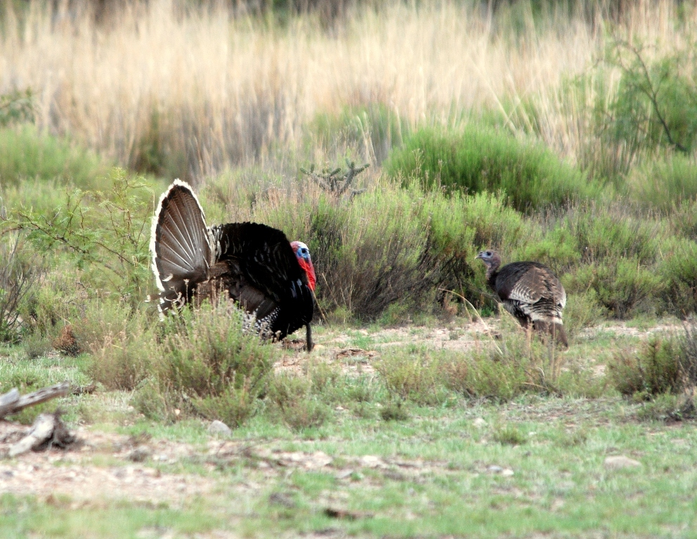 Wild Turkeys – Male & Female | Peloncillo Mts. NM | June, 2009