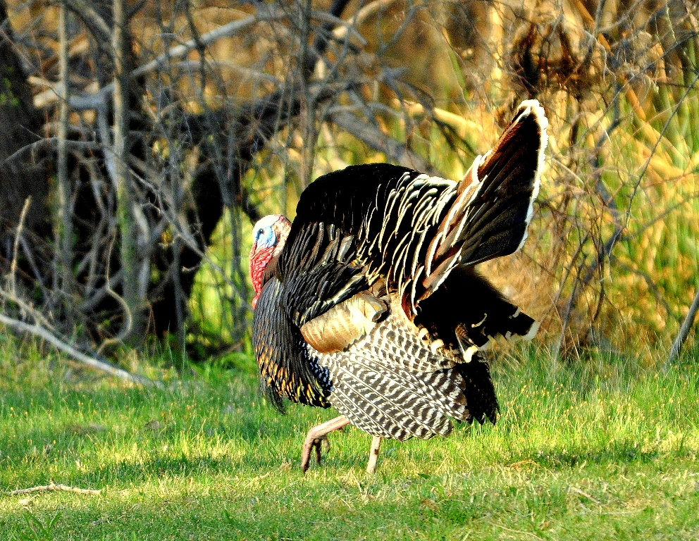 Wild Turkey – Male | Carlsbad, New Mexico | April, 2011