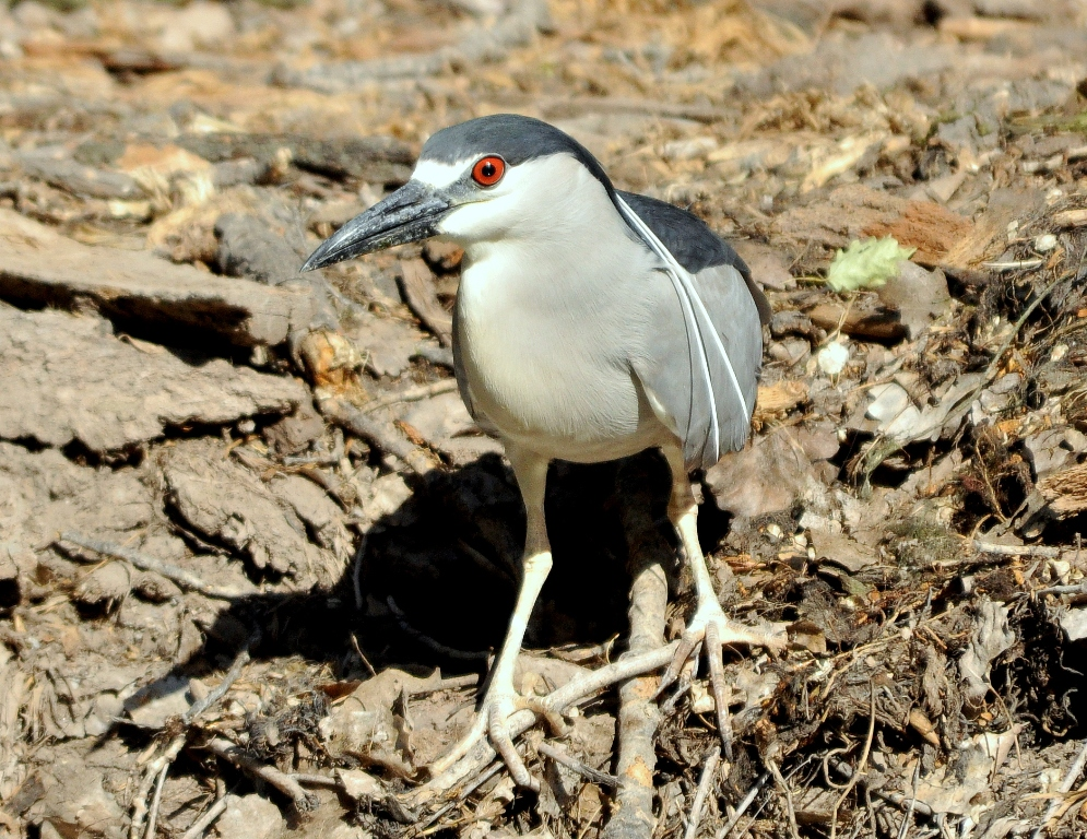 Black-crowned Night-Heron | Albuquerque, New Mexico | May, 2010