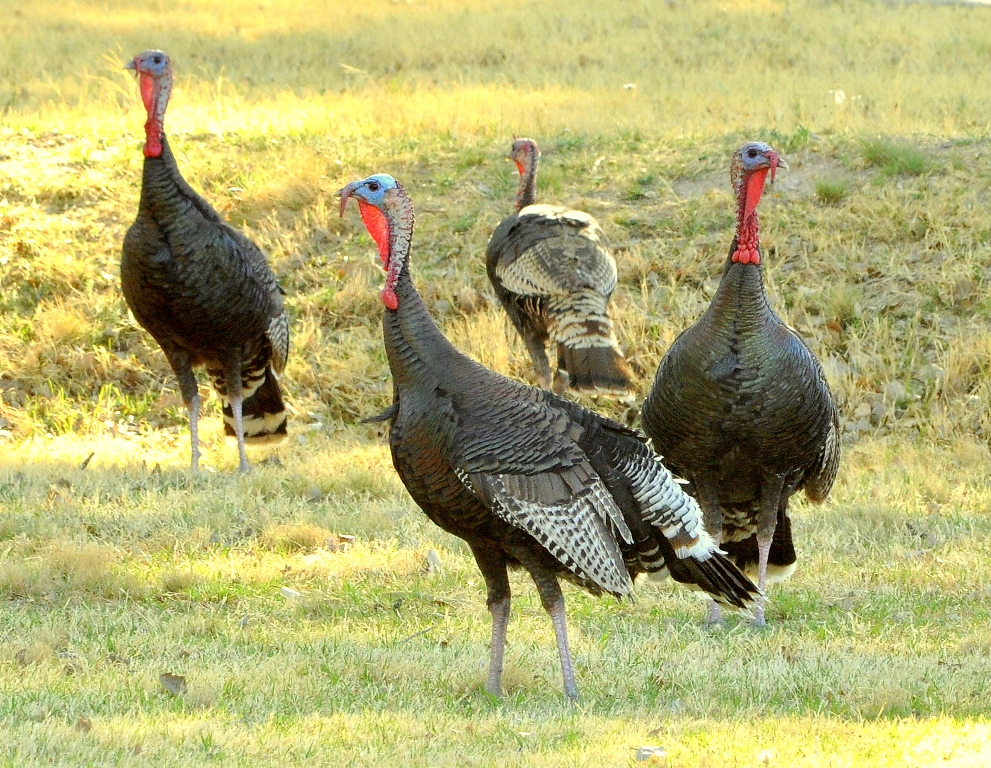 Wild Turkeys – Immature Males | Carlsbad, New Mexico | April, 2011