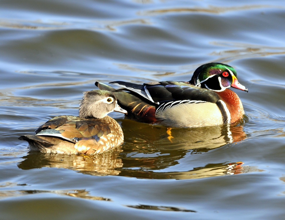 Wood Ducks – Male and Female | Albuquerque, NM | March, 2011
