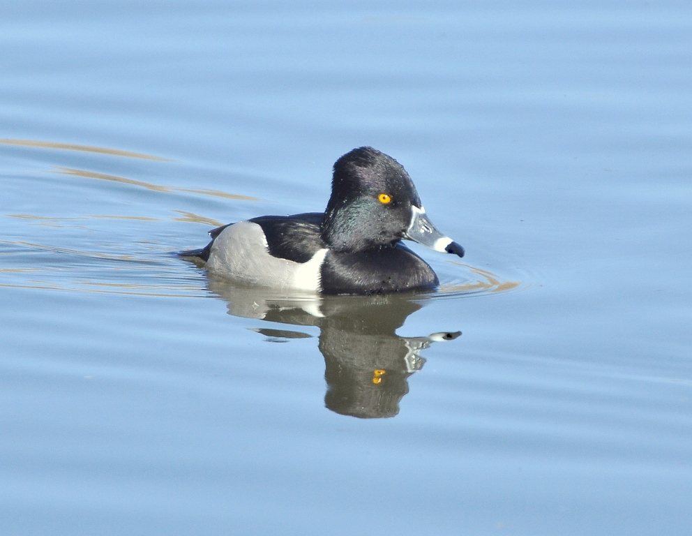 Ring-necked Duck – Male | Albuquerque, New Mexico | January, 2011