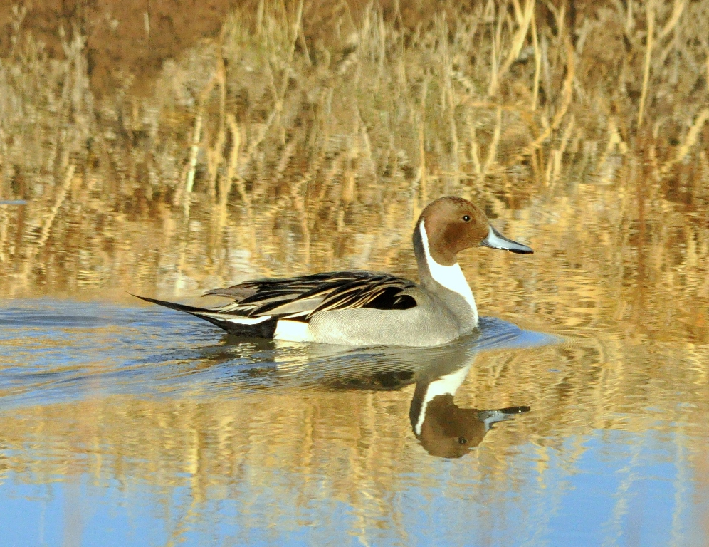 Northern Pintail – Male | Bosque del Apache | January, 2010