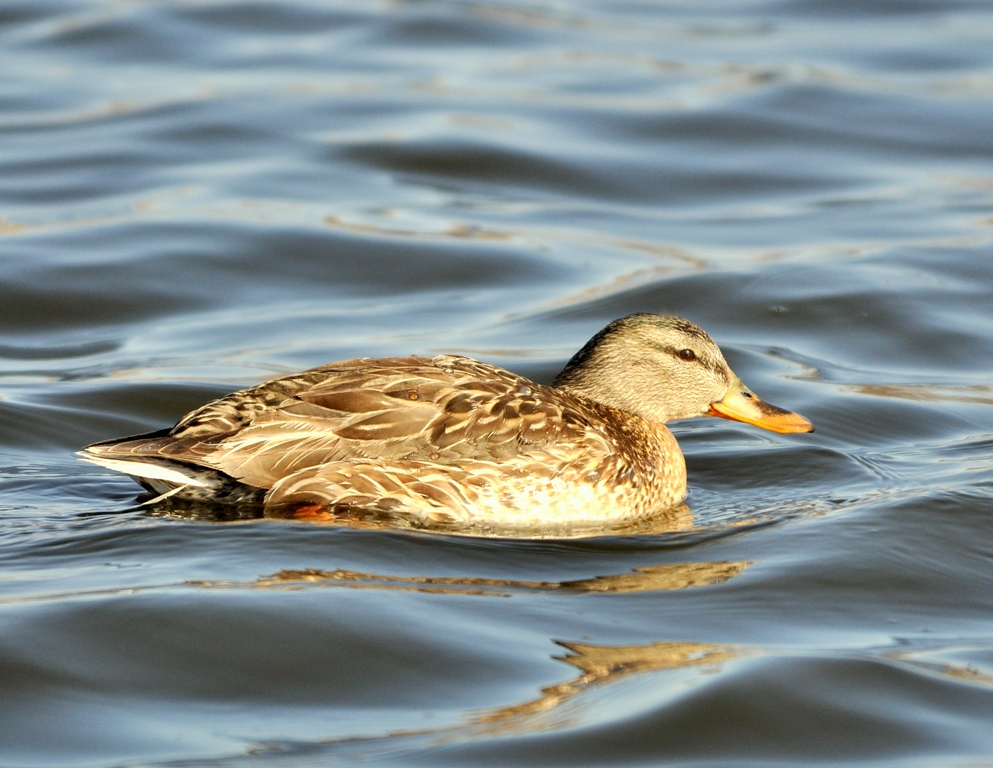 Mallard – Female | Albuquerque, New Mexico | January, 2010