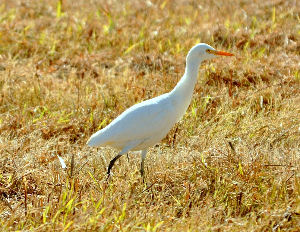 Cattle Egret | Bosque del Apache | October, 2010