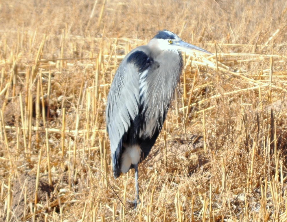 Great Blue Heron | Bosque del Apache | January, 2011