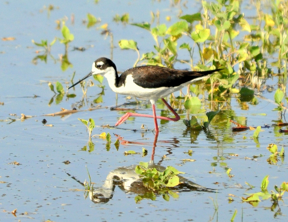 Black-necked Stilt – Female | Bosque del Apache | June, 2010