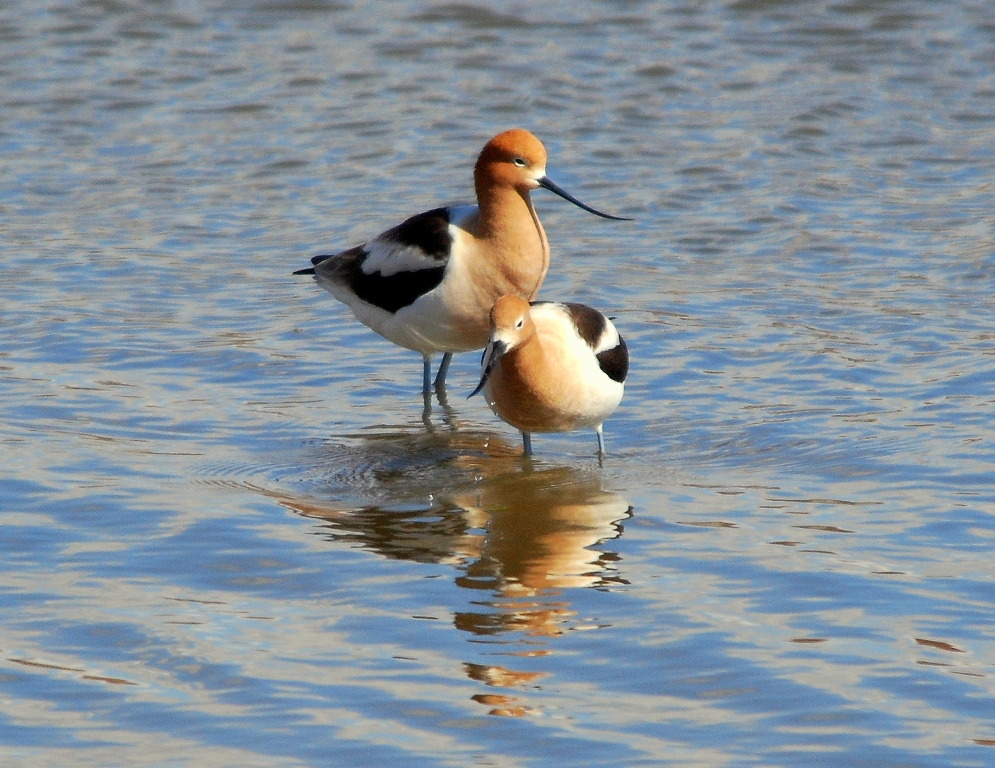 American Avocets | Walden, Colorado | April, 2009
