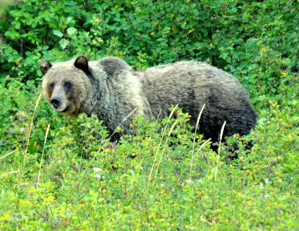 Grizzly Bear | Glacier National Park | September, 2010