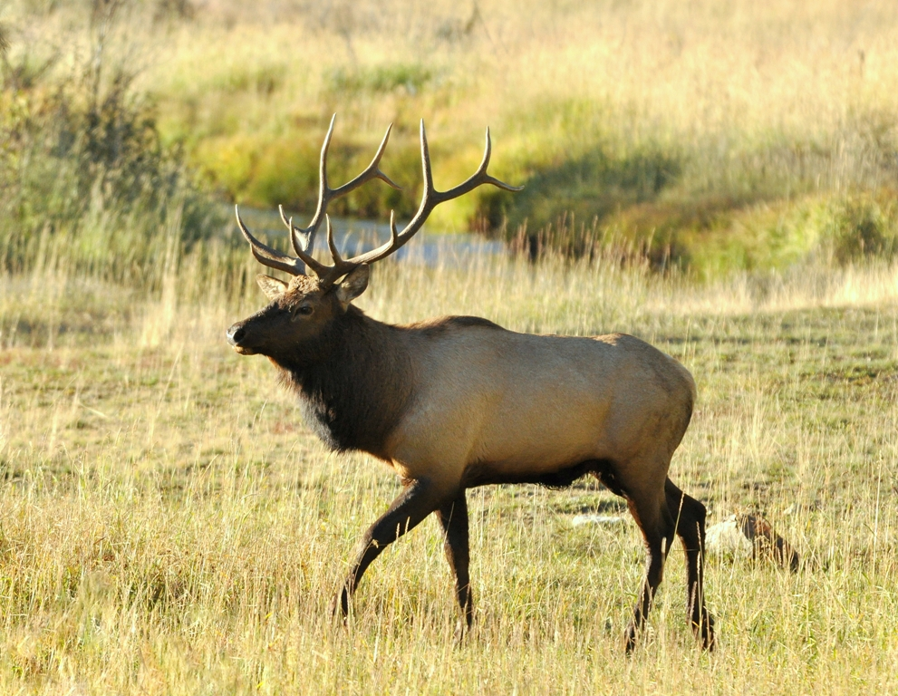 Elk – Bull | Grand Lake, Colorado | October, 2011