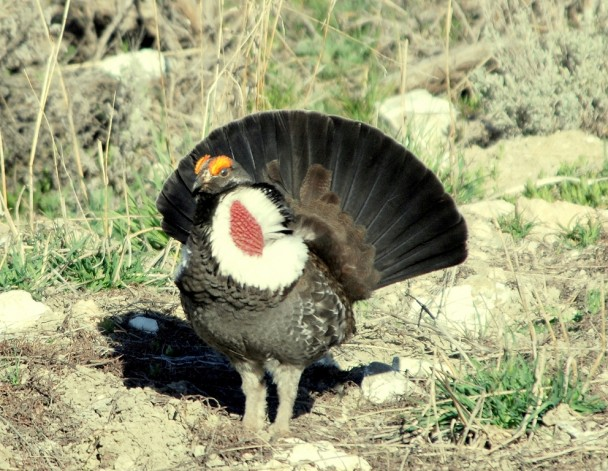 Blue Grouse – Male | Burgess Junction, Wyoming | May, 2009