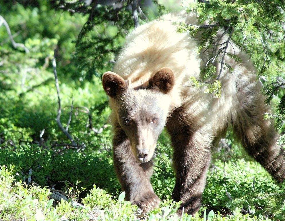Black Bear | Southfork, Colorado | July, 2009